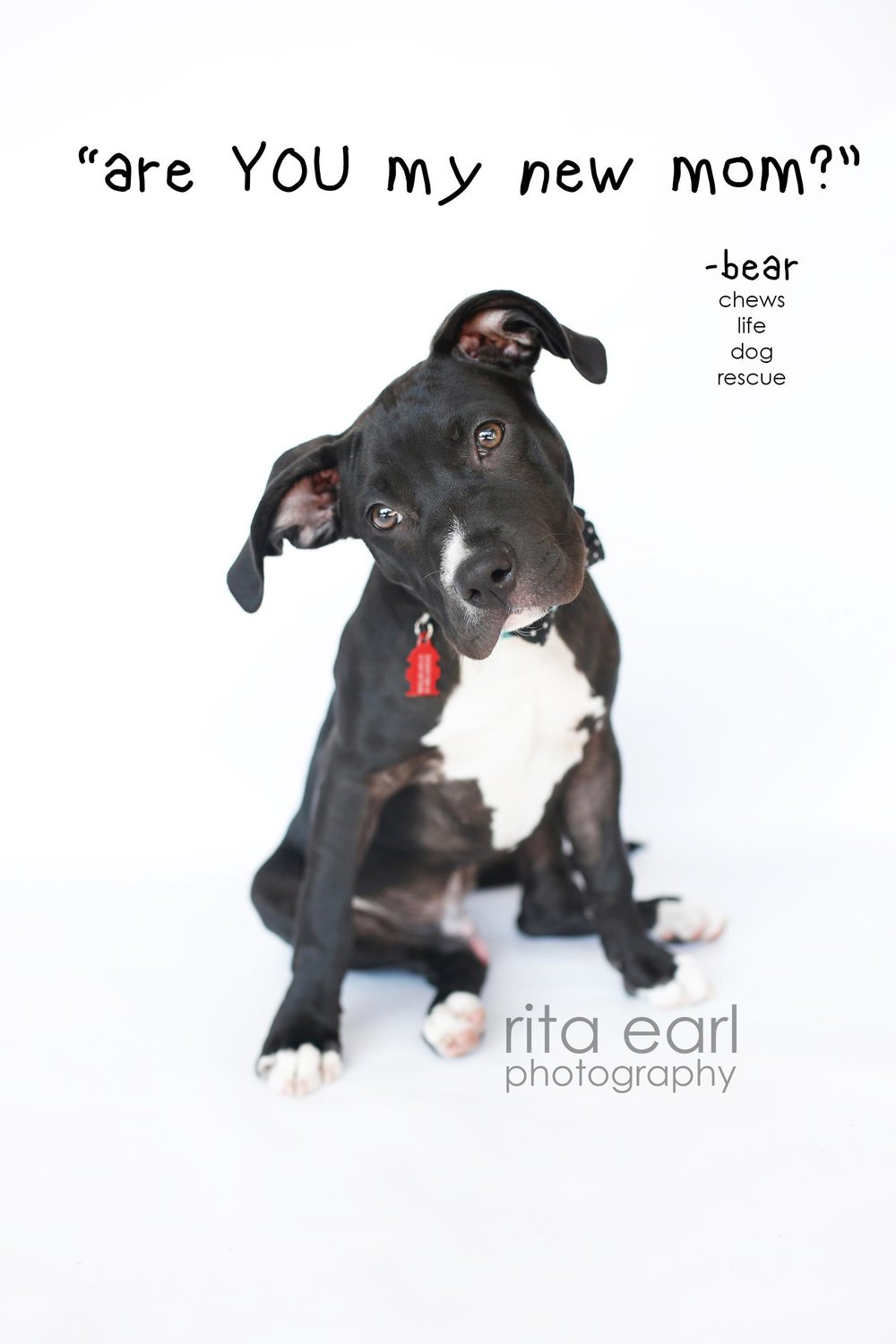 This is Bear. Bear is currently In boarding and all behavior issues have been addressed thanks to the wonderful training by Stephanie at Canine Alpha He is ready to be adopted! However, until we find him his perfect forever home, we need to raise $500 a week for his boarding and training. Click on his image to donate to his GoFundMe.