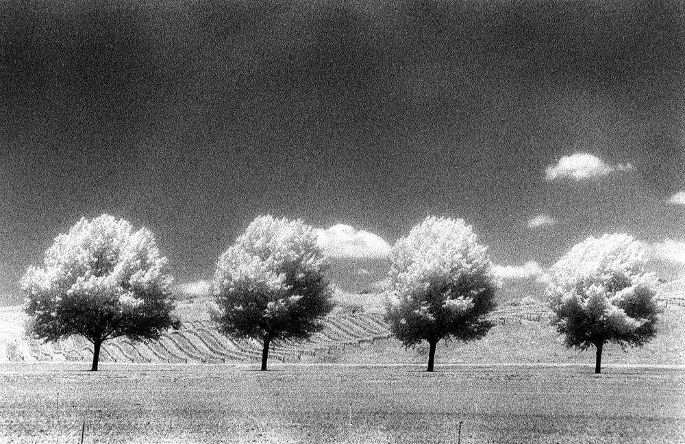 Four Vineyard Trees.jpg
