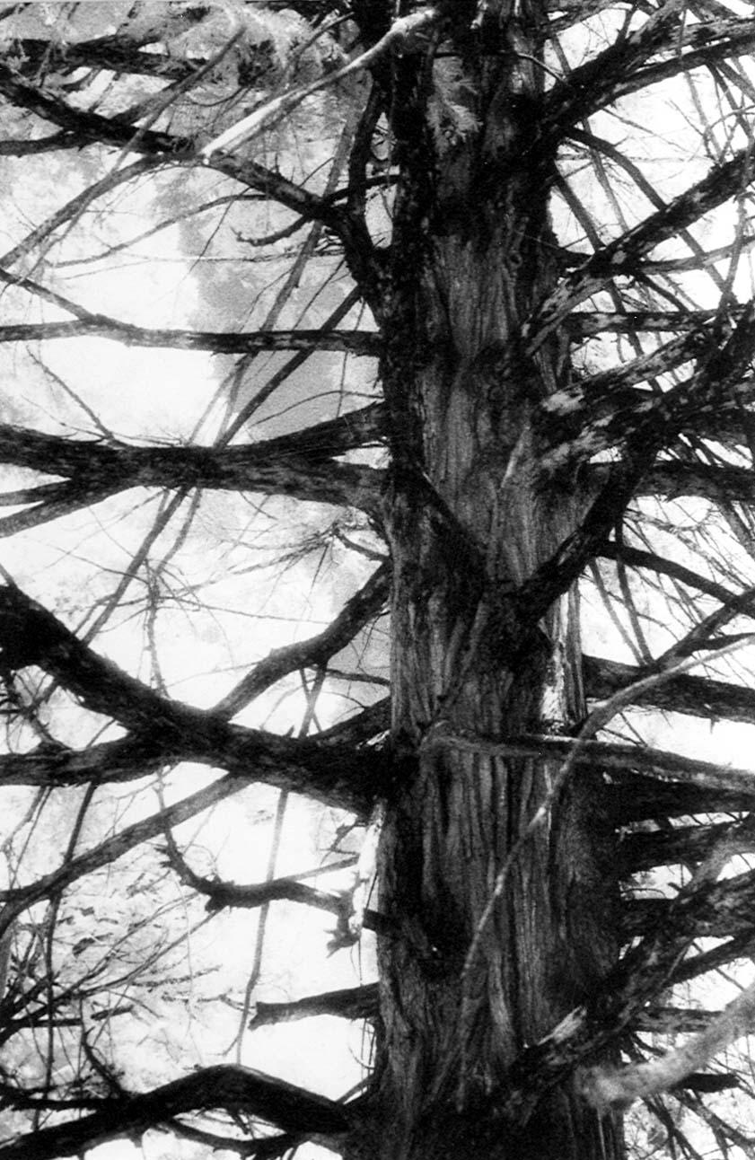 Idyllwild Pine.jpeg