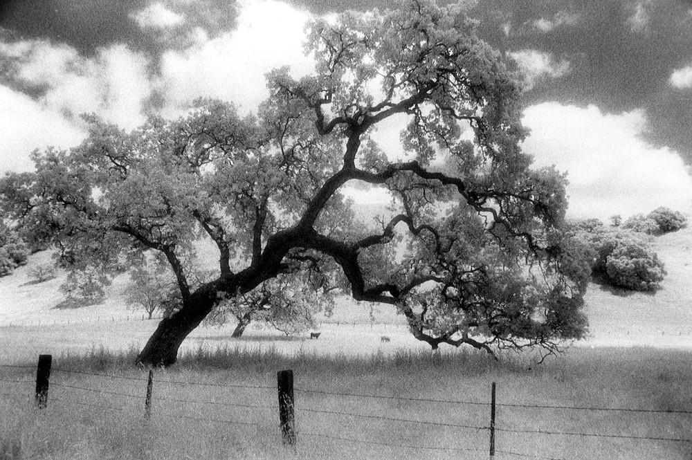 Sacred Oak.jpg