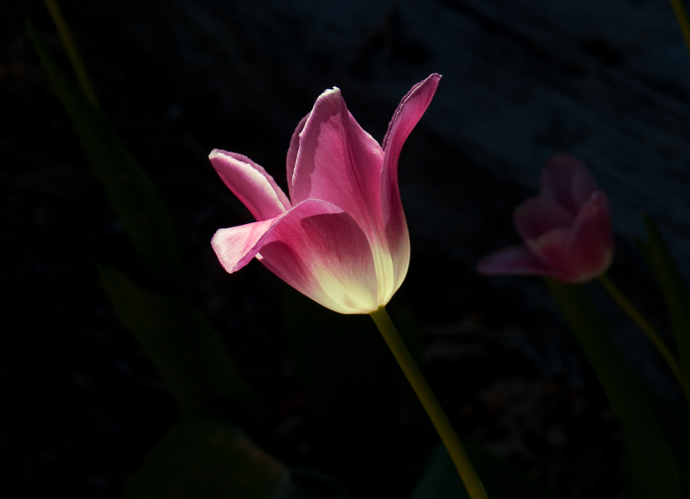 041916 Tulip & Light @ IAHS.jpg