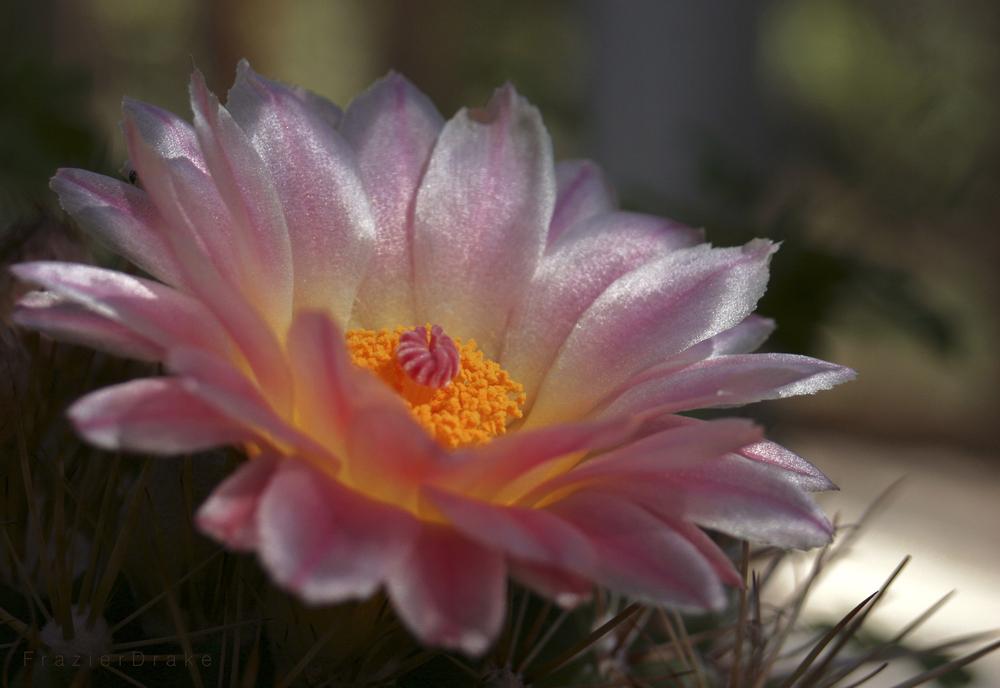 061715 Cactus Flower n.jpg