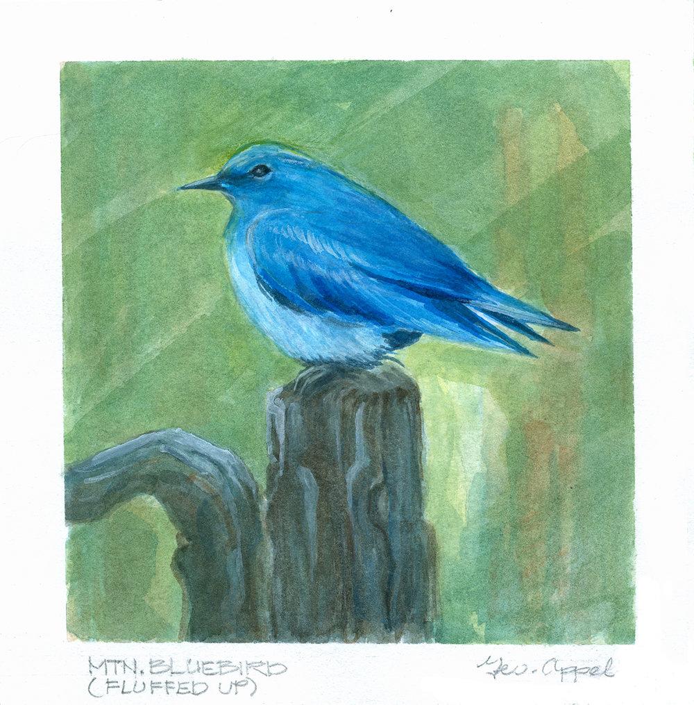 Geo Appel Mtn Bluebird (Fluffed up).jpg