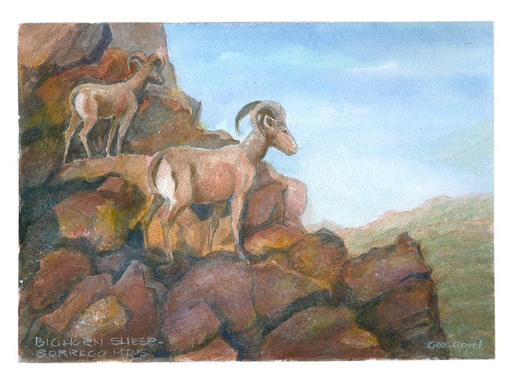 Geo Appel  Bighorn Sheep Borrego Mtns 9 x 12.jpg