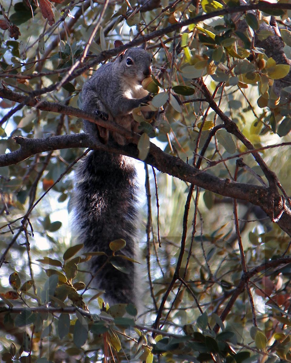 110215+Squirrel+in+Tree+&+acorn.jpg