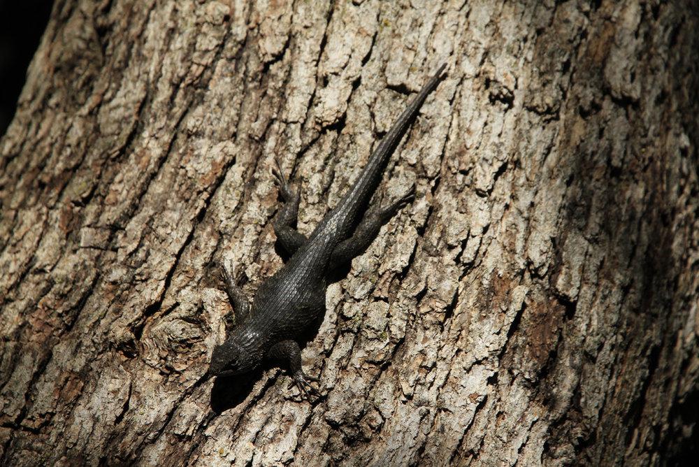 071710+Lizard+on+Bark.jpg