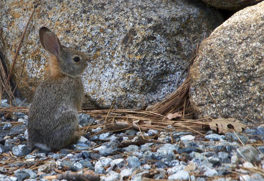 062714+Bunny+on+gravel.jpg
