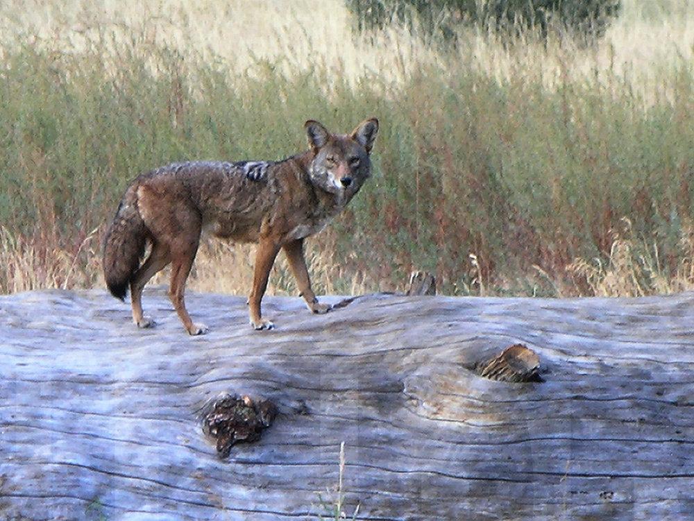 060111+Coyote+on+Dead+Tree.jpg
