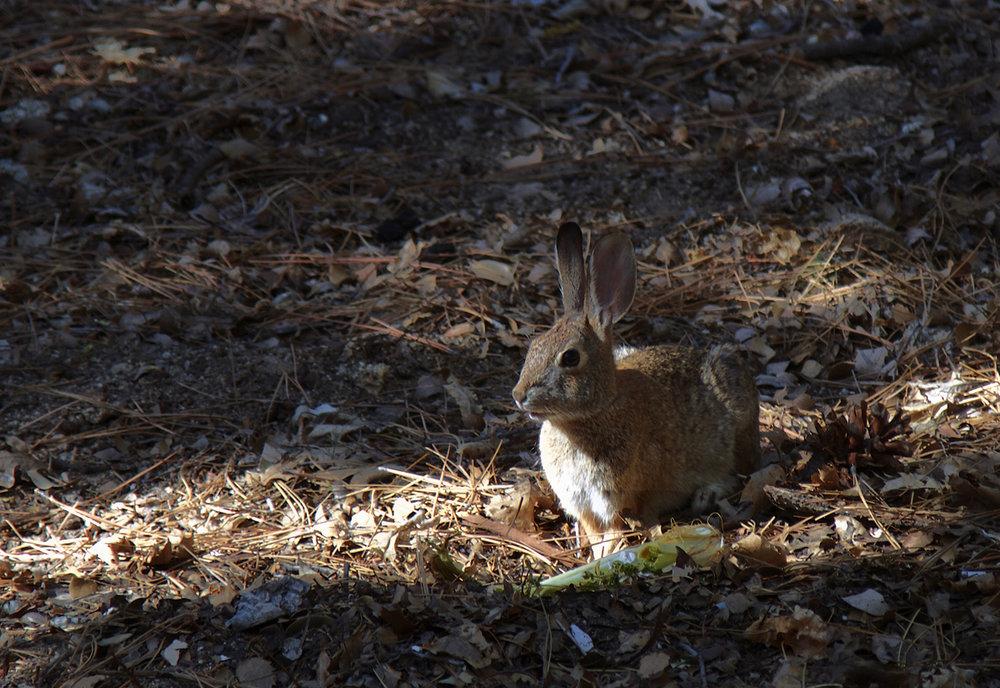 041815+Rabbit+in+leaves.jpg