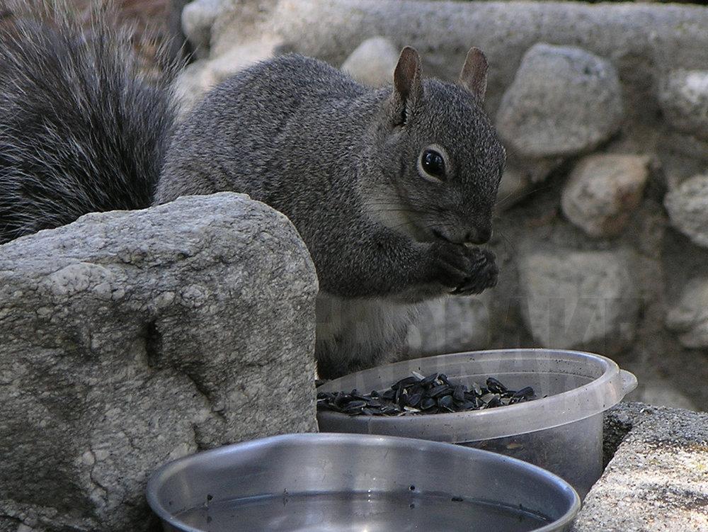 041205+Squirrel+eating+seed.jpg
