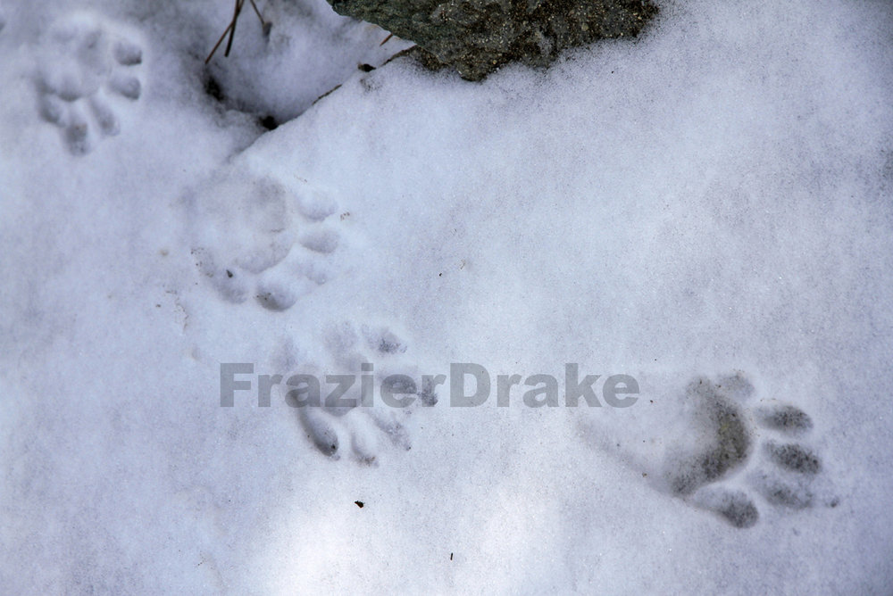 123109+Raccoon+Tracks+in+Snow-4.jpg