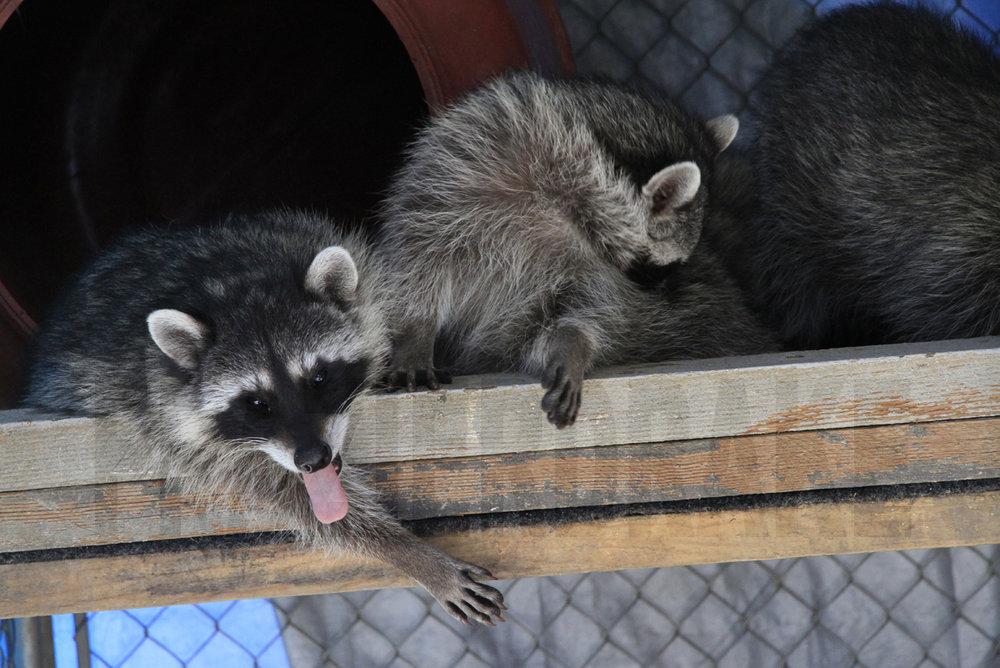 123109+Raccoon+2.jpg
