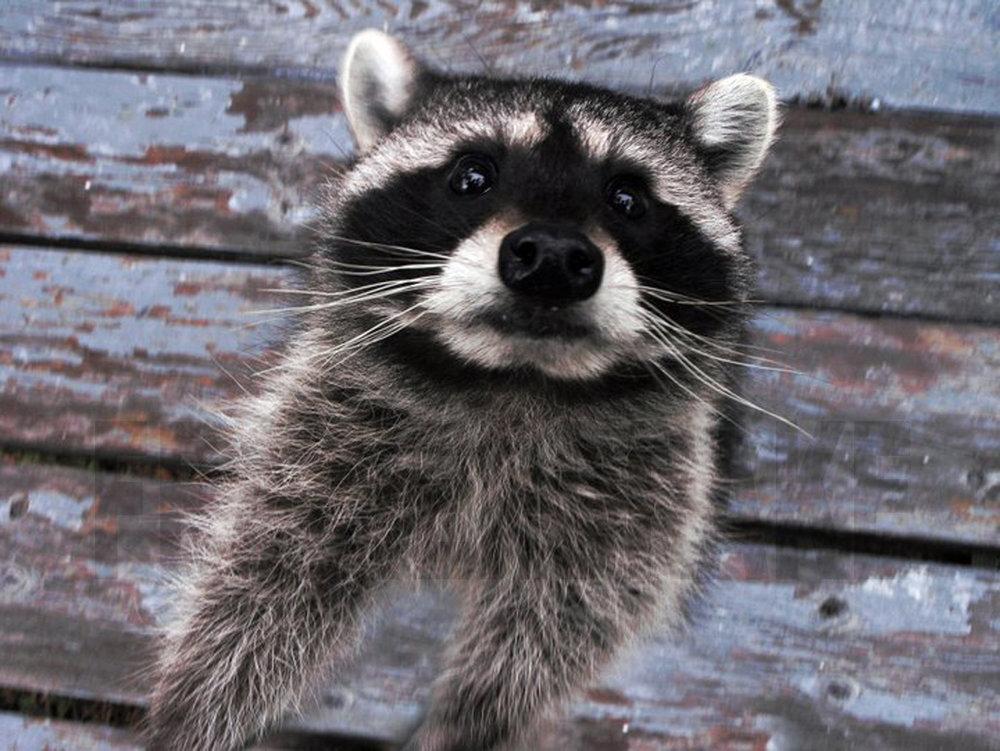123109+Raccoon+1.jpg