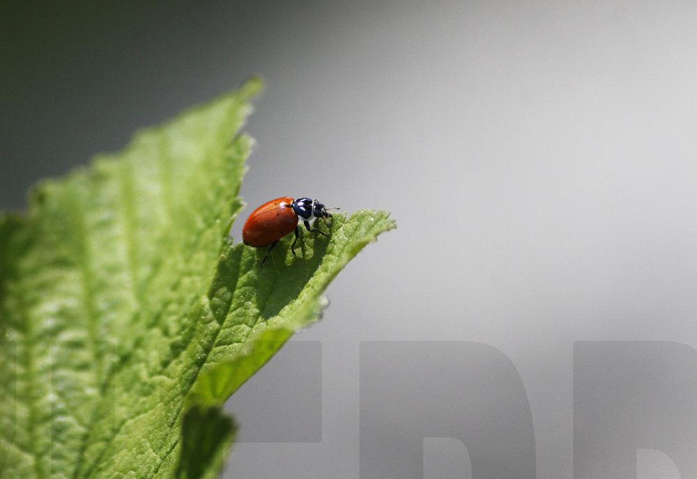 040911+Ladybug-3.jpg