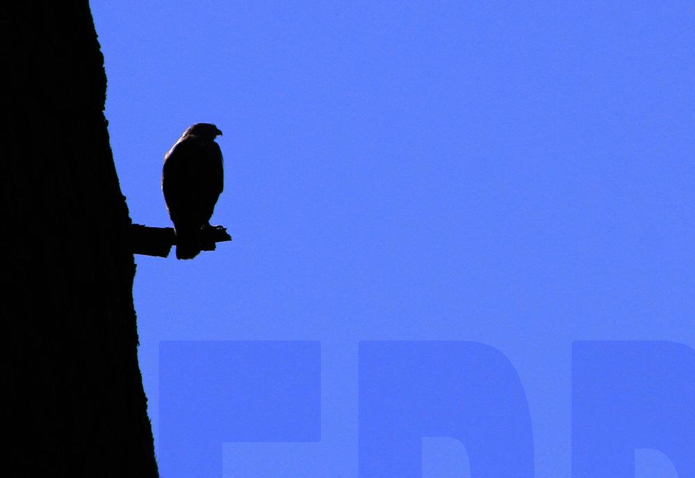 102011+Hawk+in+shadow.jpg