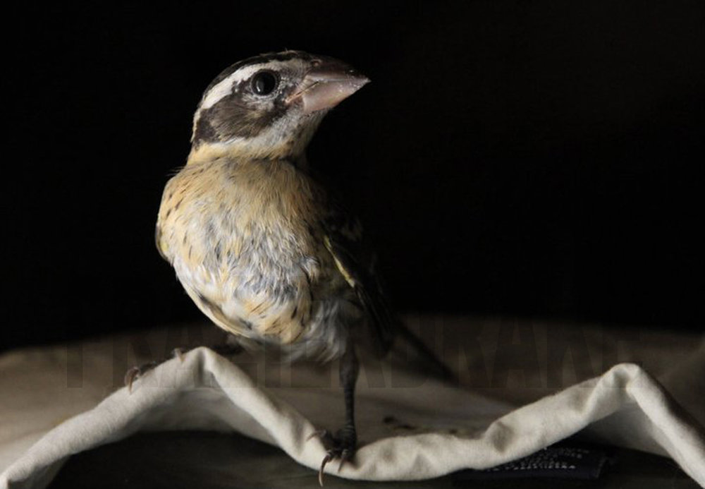 123109+Bird+Gross+Beak.jpg