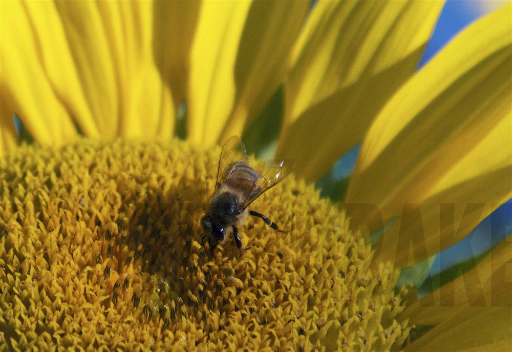 090516+Bee+&+Sunflower.jpg