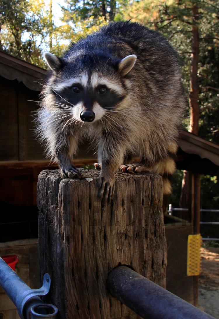 123109+Raccoon+3.jpg