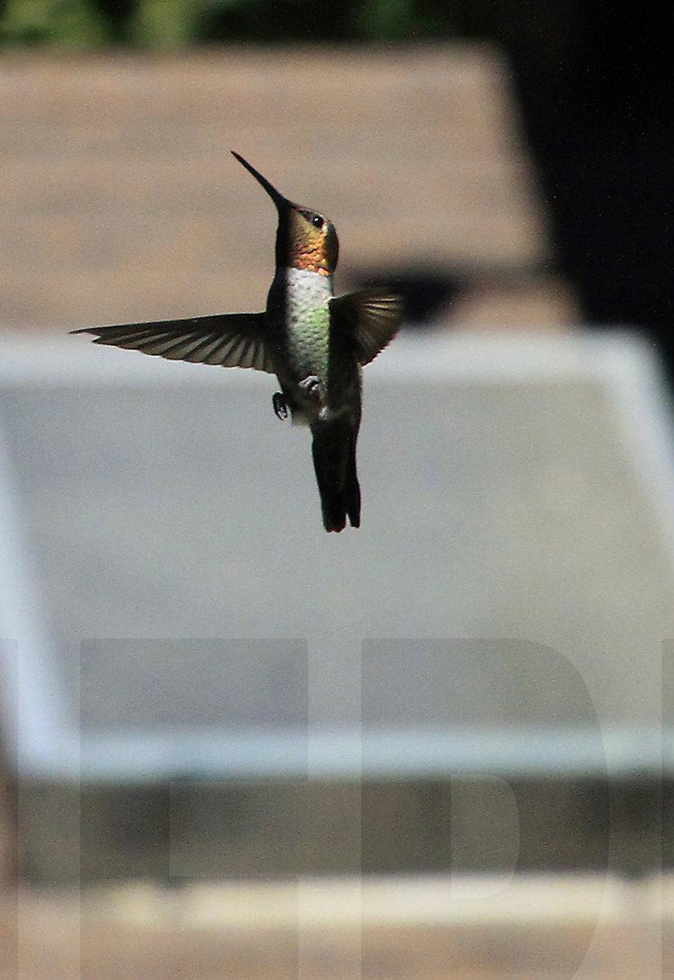 083011+Hummingbird+Ballet1.jpg