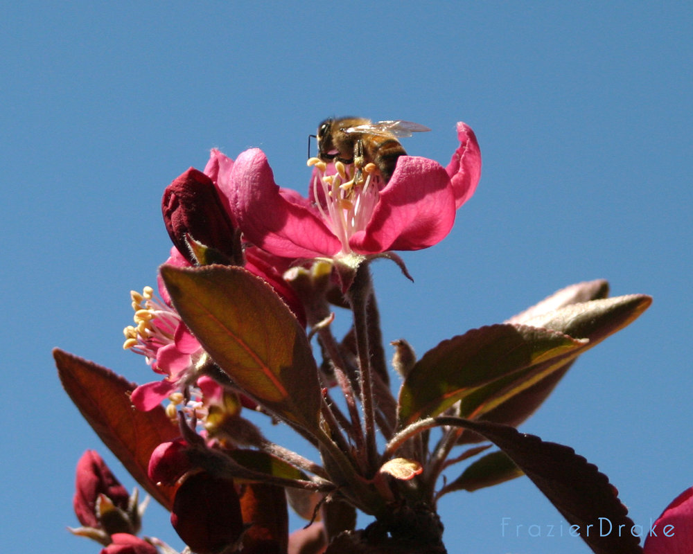 Bee on Cherry Blossom FB.jpg