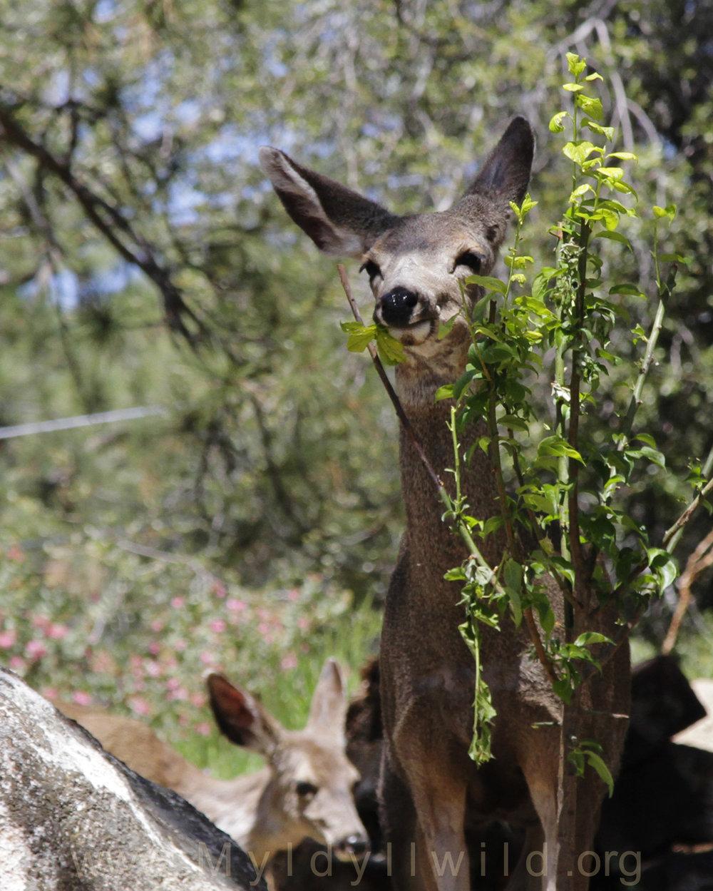 041917 Deer herd @ Rockdale 1.jpg