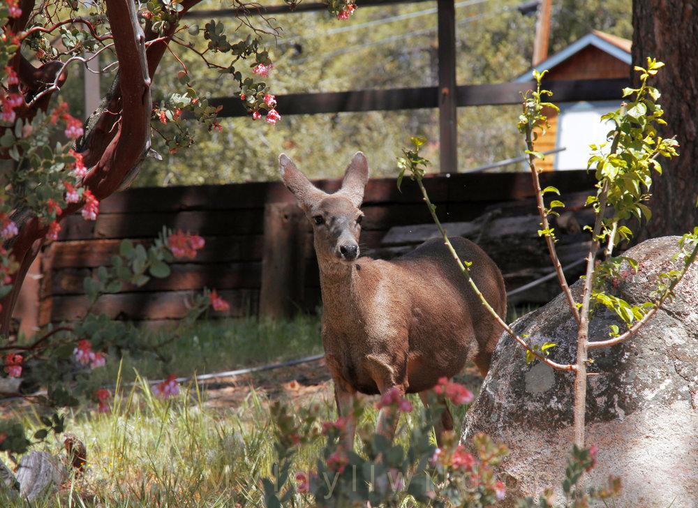 041917 Deer herd @ Rockdale 3.jpg