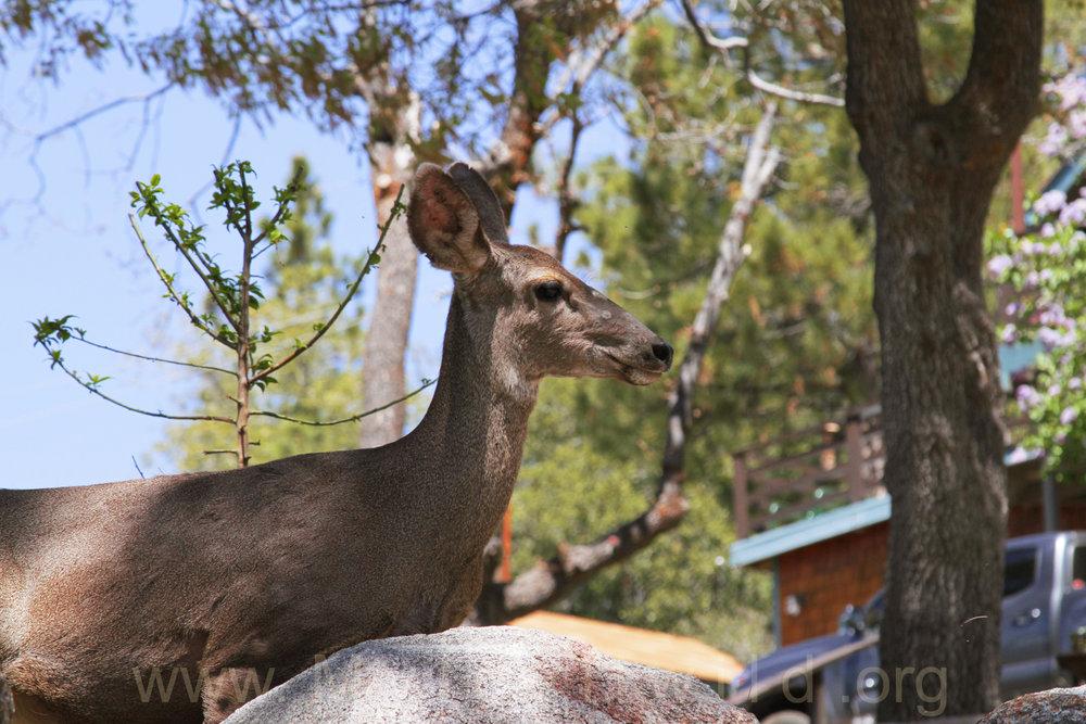 041917 Deer herd @ Rockdale 5.jpg