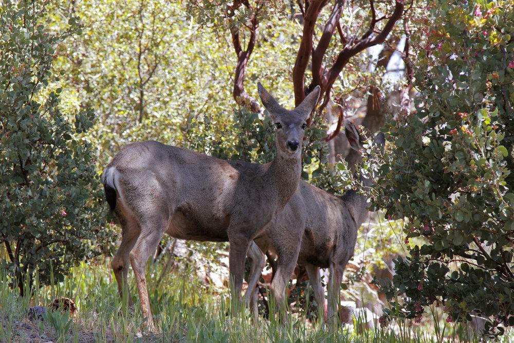 041917 Deer herd @ Rockdale 6.jpg