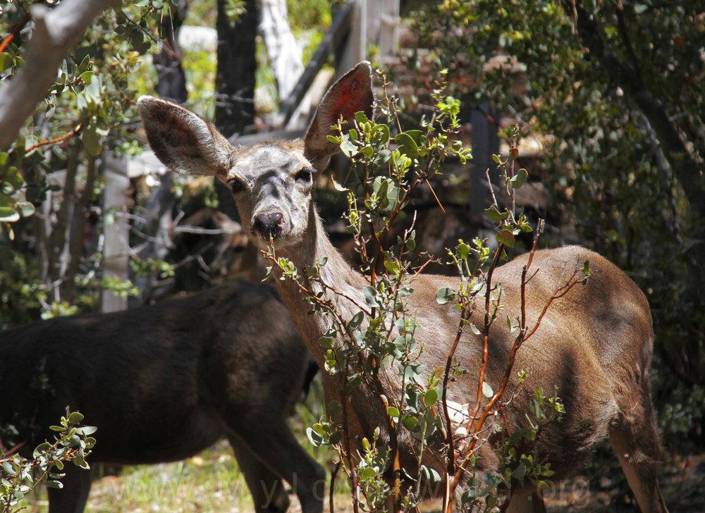 041917 Deer herd @ Rockdale 7.jpg