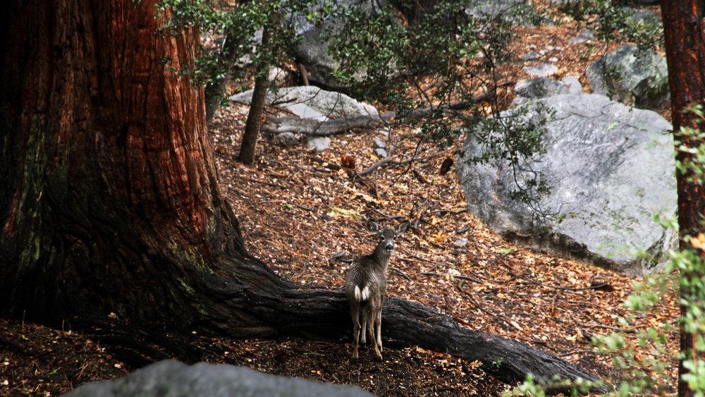 Doe Deer on Rim Rock.jpg