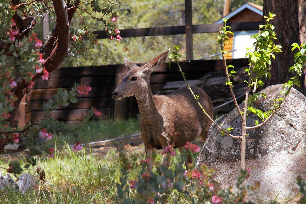 041917 Deer herd @ Rockdale 4.jpg