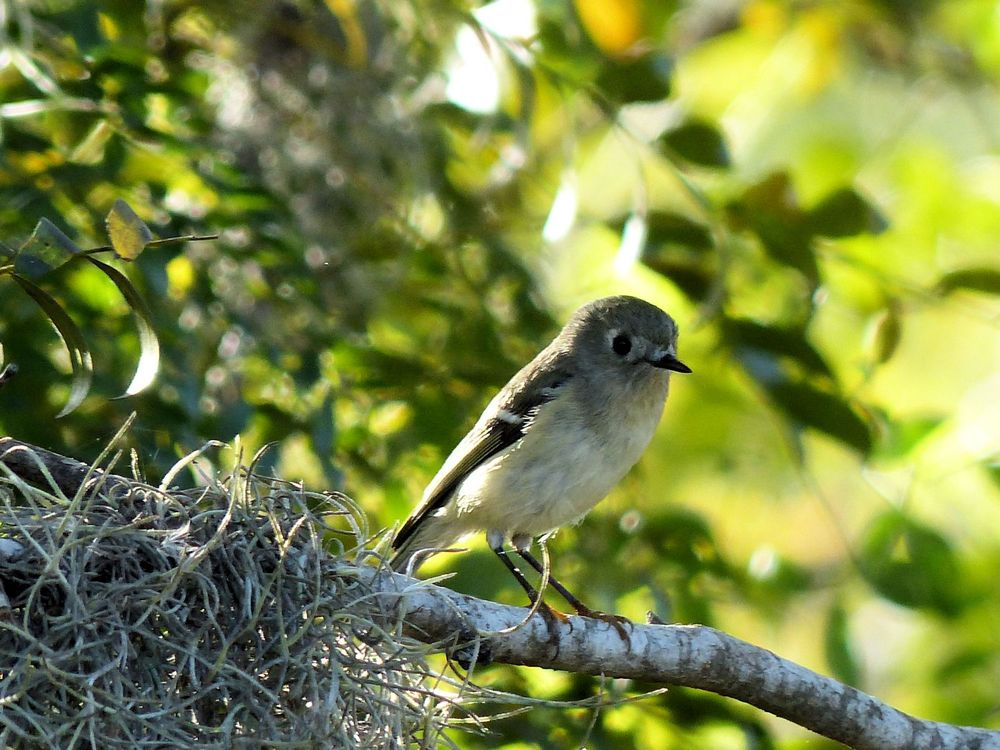 Female Ruby Crowned Kinglet