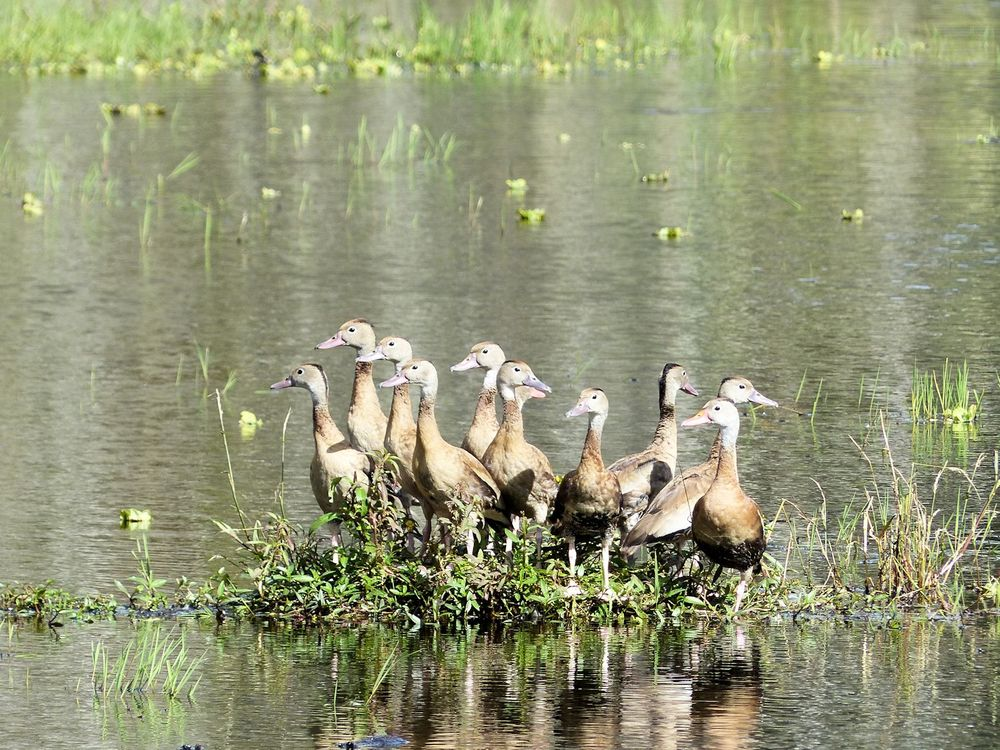 Juvenile Whistling Ducks at the Children's Table