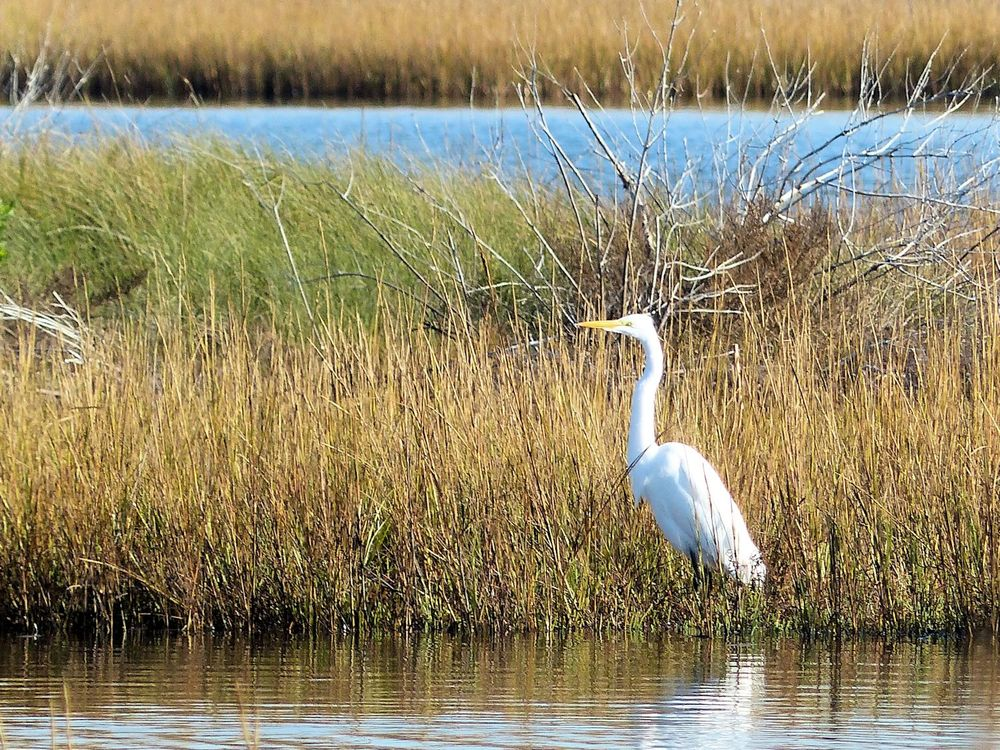 Great Egret not so far away