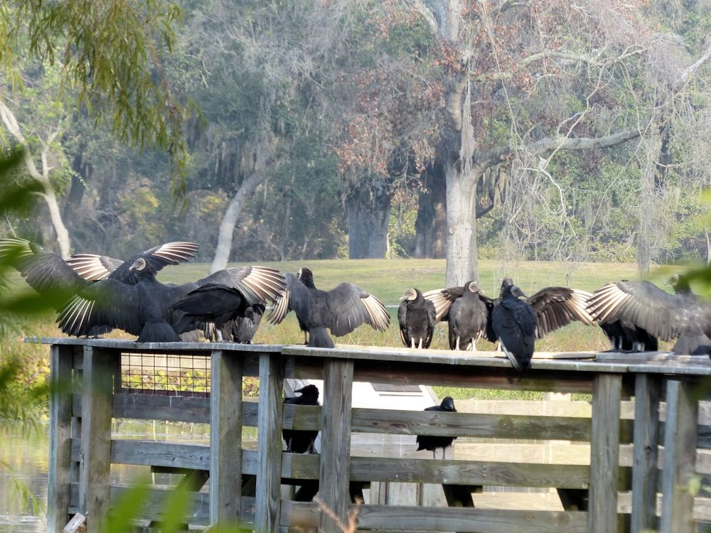 Vultures and more vultures