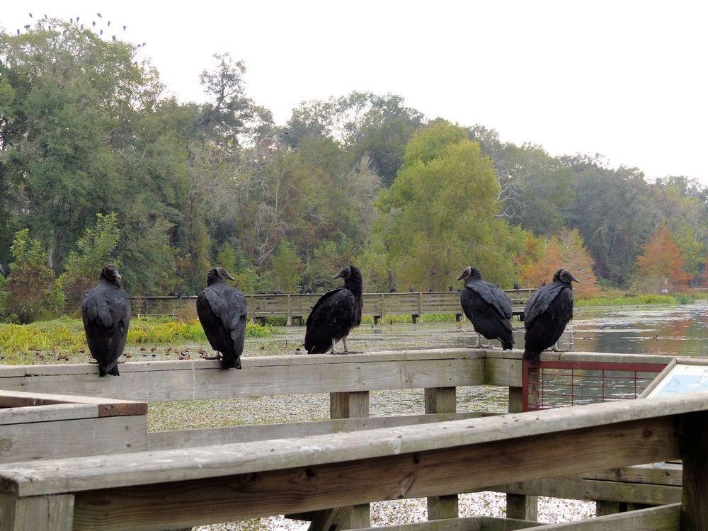 MOAR vultures