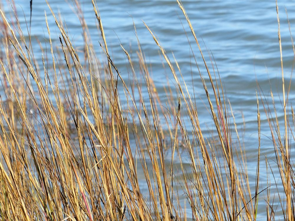 Galveston Island grass and water and wind