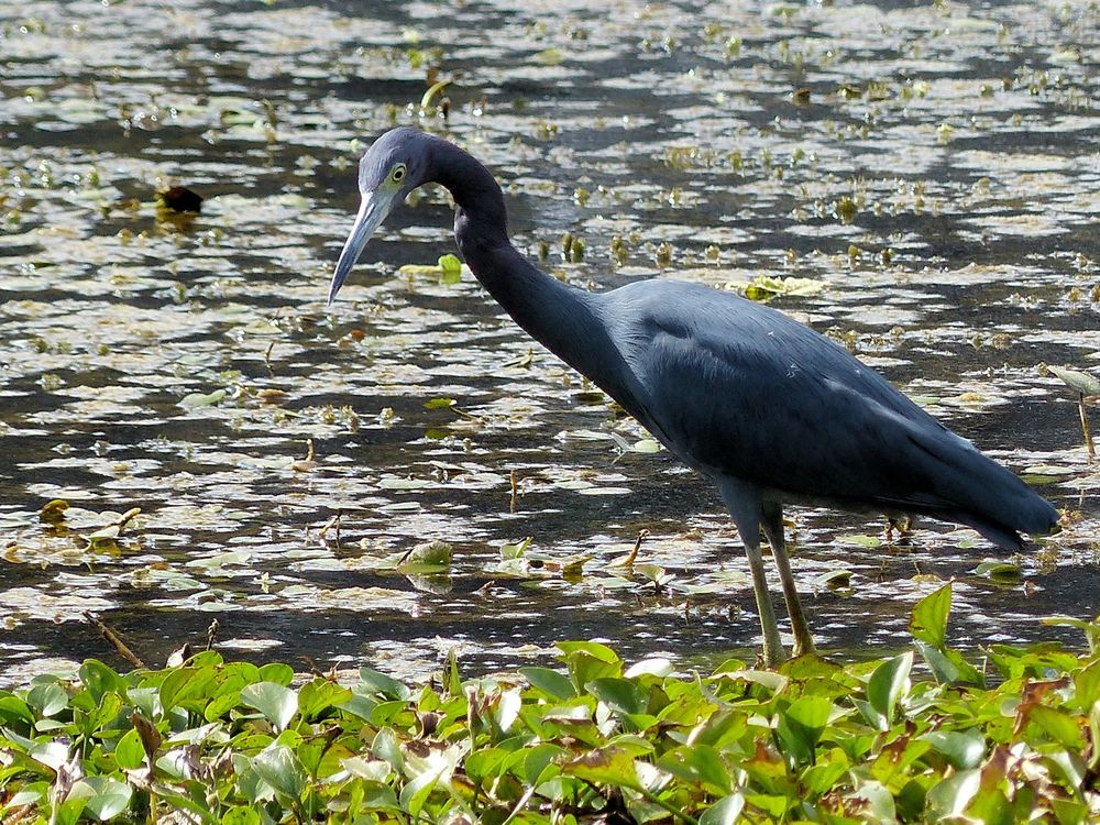 Little Blue Heron - Brazos Bend State Park