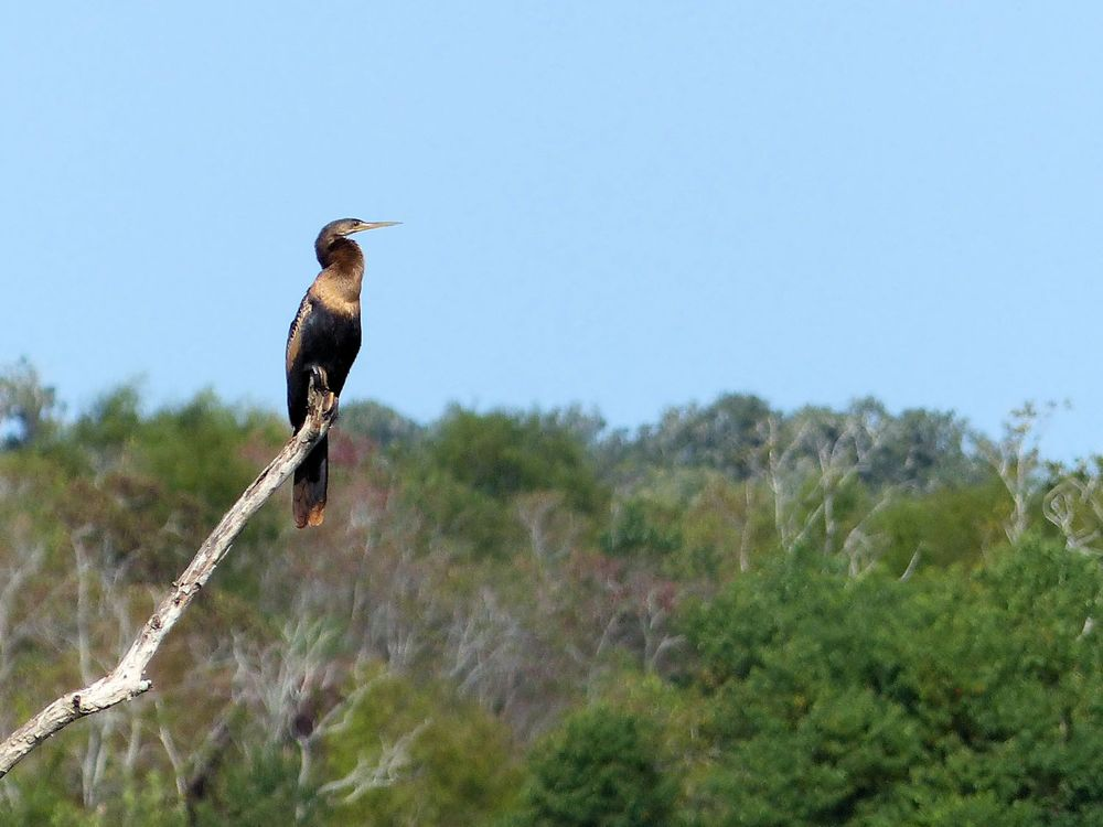 Anahingo - Brazos Bend State Park