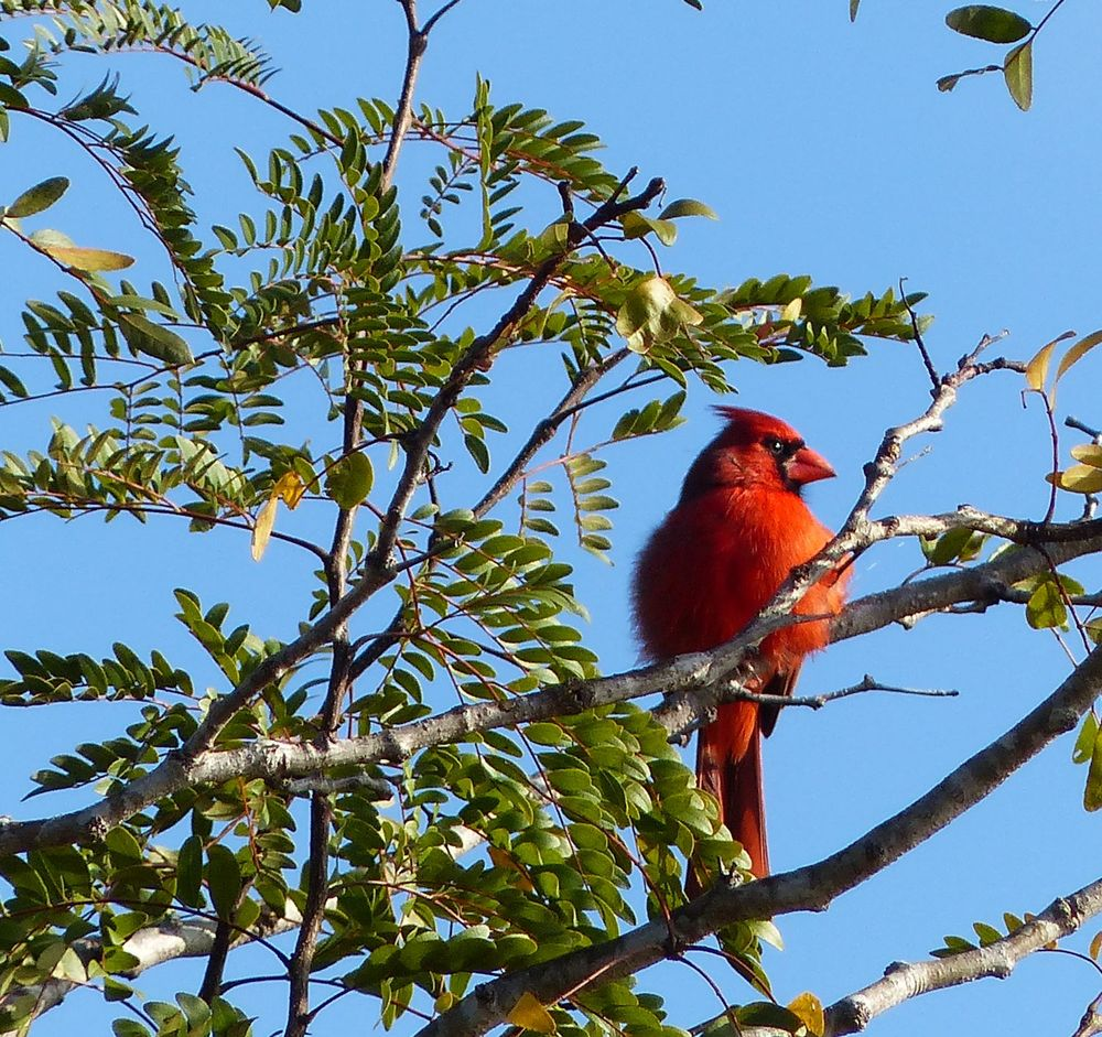 Cardinal - Brazos Bend State Park