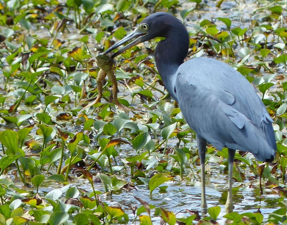 Little Blue Heron with frog - Brazos Bend State Park