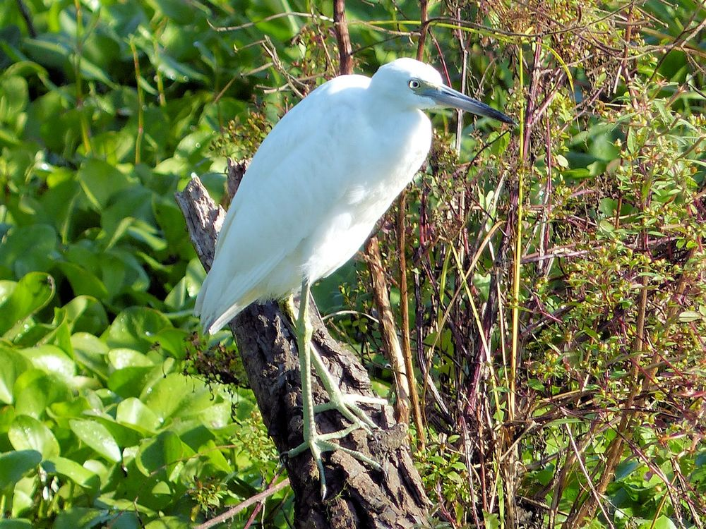 Little Blue Heron (juvenile) - Brazos Bend State Park