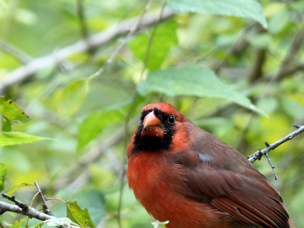 Cardinal - My first good bird pix but he has no feet. Edith L. Moore Nature Center