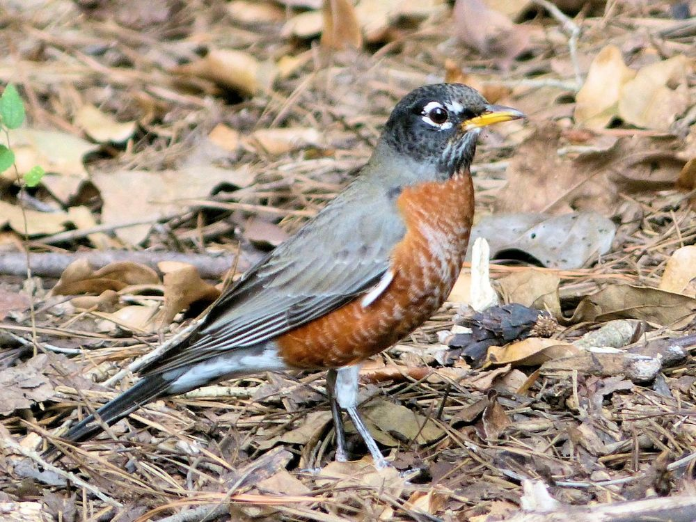 North American Robin - Edith L Moore Nature Center