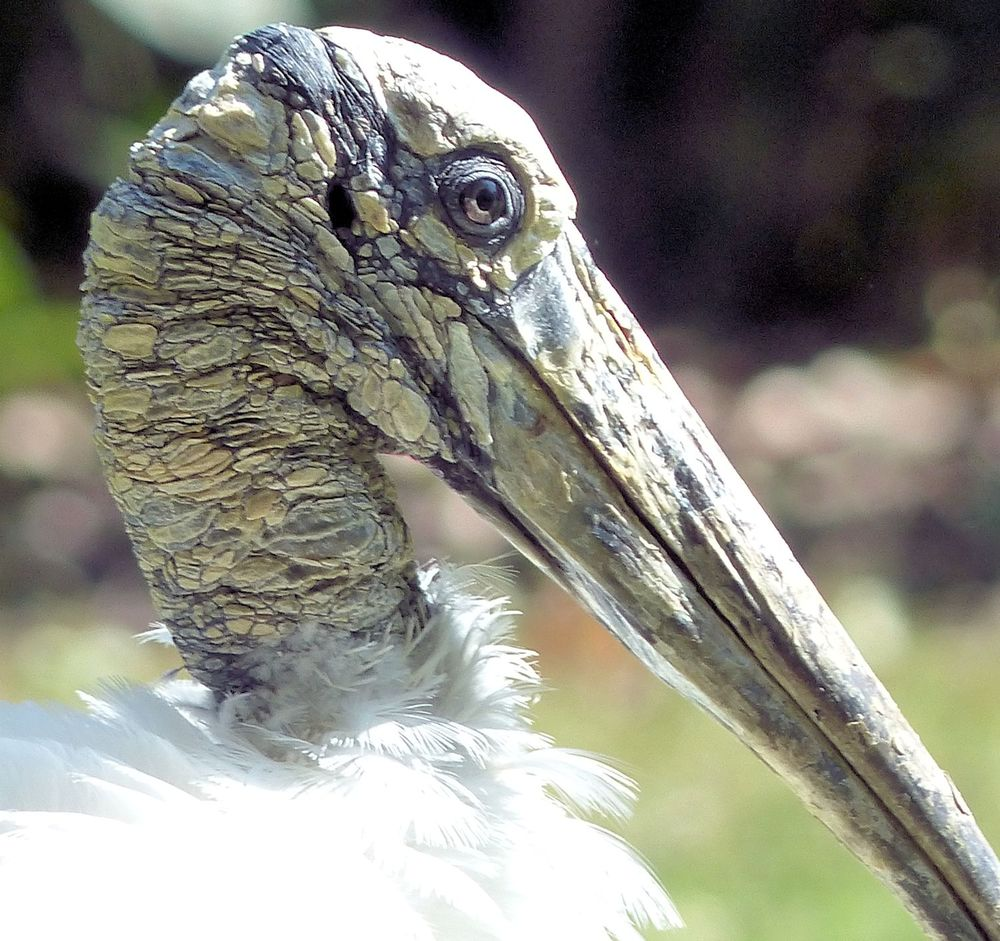 Wood Stork - Houston Zoo