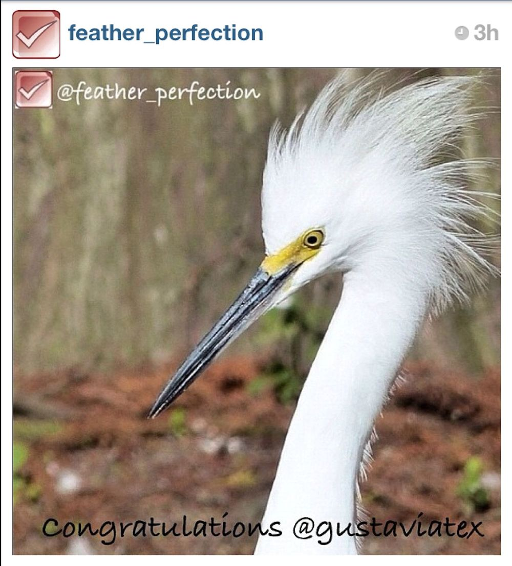 Snowy Egret -This pix won the weekly @feather_perfection award on Instagram! Wow.