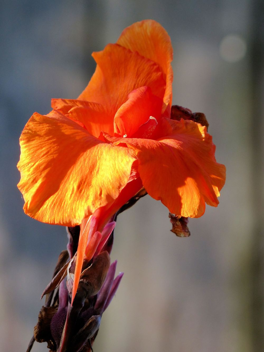 Orange Canna. Neighborhood garden
