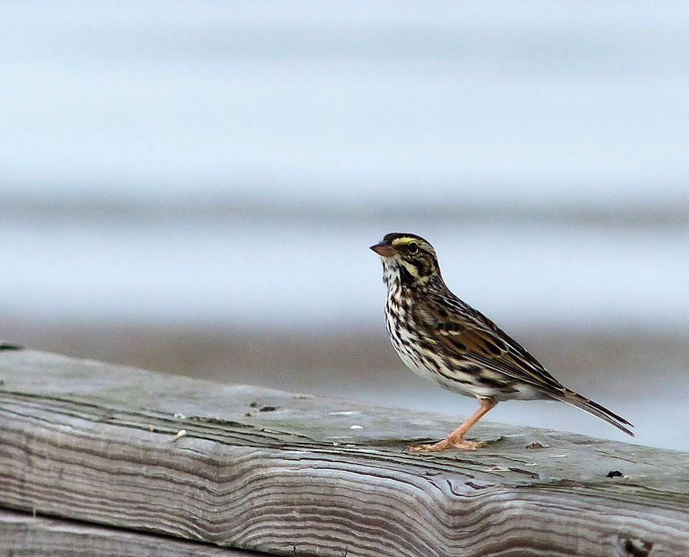 Savannah Sparrow on pier railing