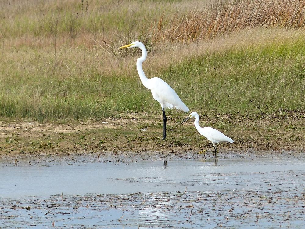 Great Egret and Snowy Egret... me and mini-me
