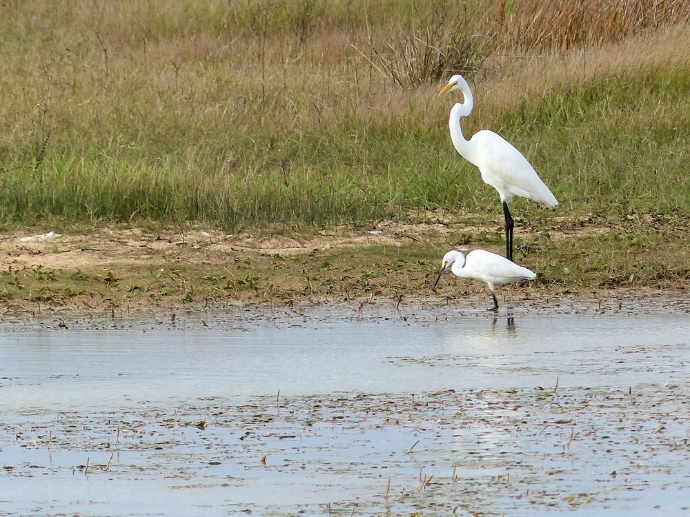 Great Egret and Snowy Egret - Katy Prairie